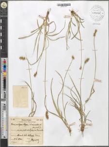 Carex contigua Hoppe