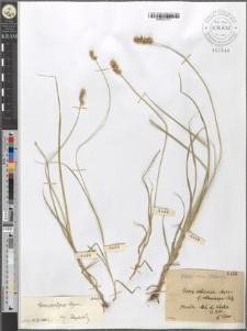 Carex echinata Murr. var. [?] [?]