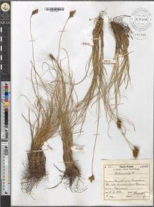 Carex curvula All.