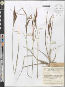 Carex cuspidata