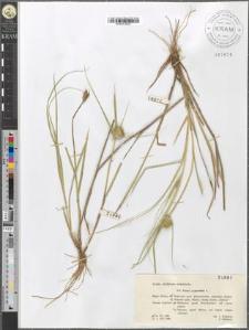 Carex cyperoides L.
