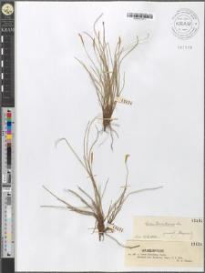 Carex Davalliana Smith.
