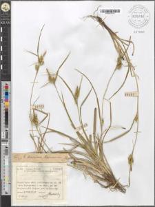 Carex demissa Horneman