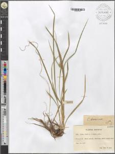 Carex flava L. × Oederi retz.