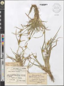 Carex demissa Hornemann