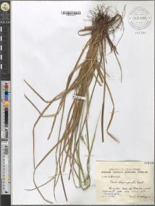 Carex depauperata Good.