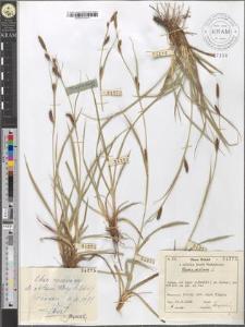 Carex distans L.