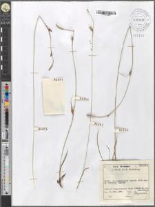 Carex distans