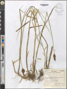 Carex disticha Huds.