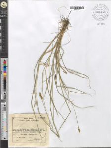Carex echinata Murray