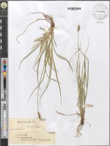 Carex echinata Murr.