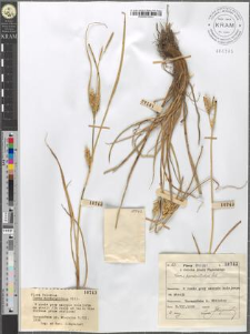 Carex hordeistichos Vill.