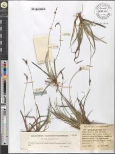 Carex ericetorum Poll.