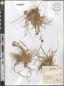 Carex fuliginosa Schkuhr