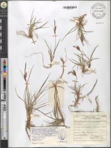Carex fusca Bell. et All. var. curvata (Fleischer) Asch. et Graeb.