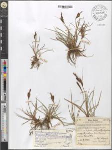 Carex fusca Bell. et All. var. curvata (Fleischer) Asch. et Gr.