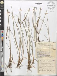 Carex juncella Th. Fries subvar. polygama mihi