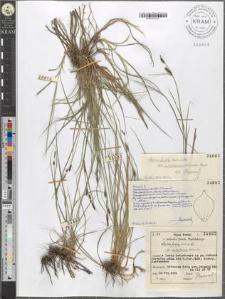 Carex fusca Bell. et All. fo. subsetacea Kukenth.