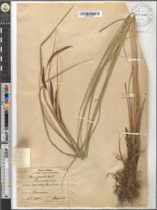 Carex gracilis Curt.