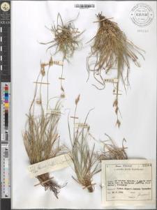 Carex Halleriana