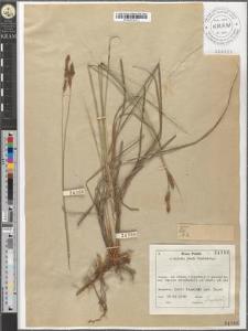 Carex hartmanii Cajander