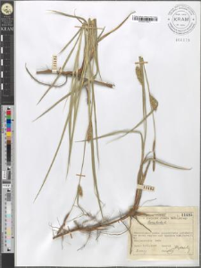 Carex hirta L.