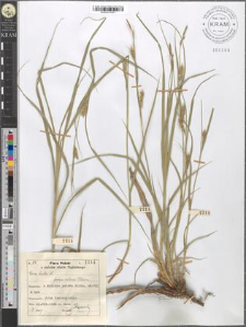 Carex hirta L. fo. villosa Peterm.
