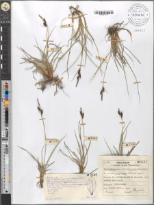 Carex fusca Bell. et All. var. curvata (Fleischer) Asch. et Gr. ad subvar. fuliginosam (A. Br.) Suess. vergens
