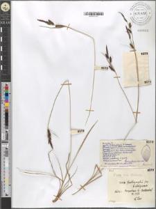 Carex Goodenoughii Gay. fo. fuliginosa