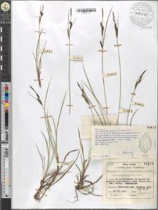 Carex fusca Bell. et All. var. curvata (Fleischer) Asch. et Gr. subvar. fuliginosa (A. Br.) Suess.