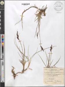 Carex fusca Bell. et All. var. curvata (Fleischer) Asch. et Gr. fo. polyandra (Schkuhr) Kueken. subvar. fuliginosa (A. Br.) Suess.