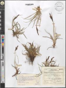 Carex fusca Bell. et All. var. curvata (Fleischer) Asch. et Gr. fo. oxylepis (Sanio) Kuekenth.