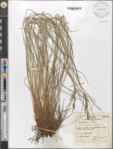 Carex fusca Bell. et All. var. elatior (Lang) Asch. et Gr.