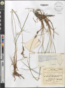 Carex fusca Bell. et All. var. elatior (Lang) Asch. et Gr. fo. badia Sanio