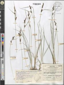 Carex fusca Bell. et All. var. elatior (Lang) Asch. et Gr. fo. brachystachys E. Steiger