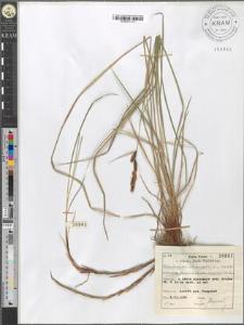 Carex fusca Bell. et All. var. elatior (Lang) Asch. et Gr. subvar. fuliginosa (A. Br.) Suess.