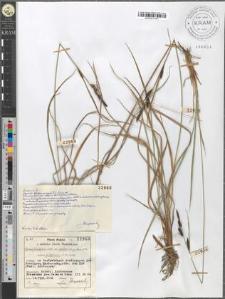 Carex fusca Bell. et All. var. elatior (Lang) Asch. et Gr. subvar. recta (Fleischer) Asch. et Gr. subvar. Fuliginosa (A. Br.) Suess.