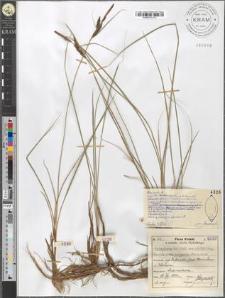 Carex fusca Bell. et All. var. elatior (Lang) Asch. et Gr. subvar. polygama (Peterm.) Suess.