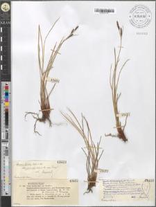 Carex dacica Zap. (an Heuffel?)