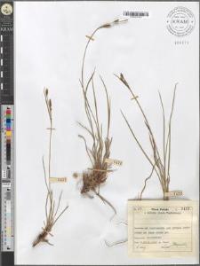 Carex juncella Th. Fries fo. polyandra mihi