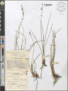 Carex juncella Th. Fries fo. polyandra mihi