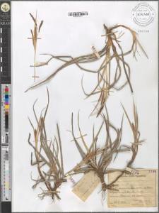 Carex glauca?
