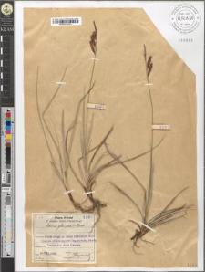 Carex glauca Murr.