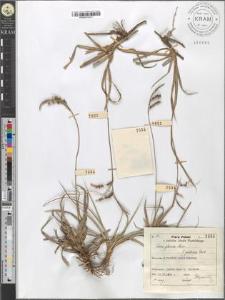 Carex glauca Murr. fo. pallida Beck