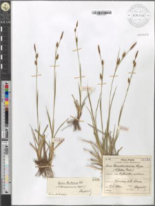 Carex Hornschuchiana Hoppe