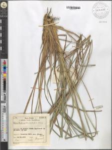Carex Hudsonii Bennet