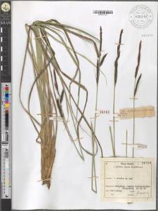 Carex Hudsonii