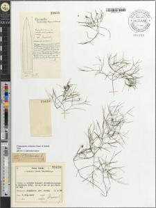 Potamogeton trichoides