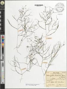 Potamogeton trichoides Cham. et Schlecht.