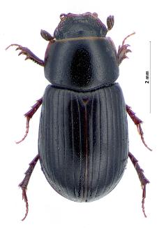 Aphodius nemoralis W.F. Erichson, 1848